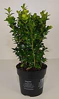 Самшит вечнозеленый -- Buxus sempervirens  P12/H20