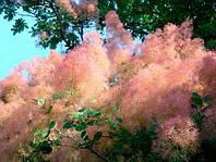 Скумпия (Cotinus) – растение за которым легко ухаживать