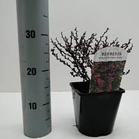 Барбарис Тунберга Atropurpurea Nana -- Berberis thunbergii Atropurpurea Nana  P17/H20