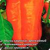 Перец сладкий F1 Оранжевый бык