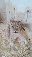 Продам африканских львят для частных зоопарков
