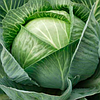 СТАТУС F1 - семена капусты белокочанной, 2 500 семян, Moravoseed