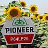 Подсолнух PIONEER P64LE25