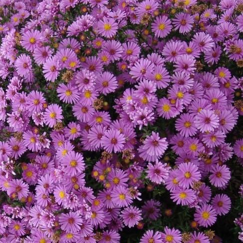 Морозец низкорослый (астра кустарниковая), розовый