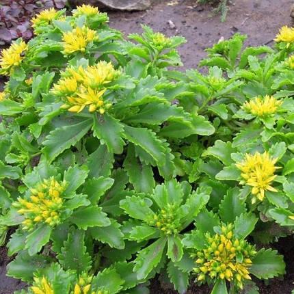 Седум (очиток) желтый, фото 2