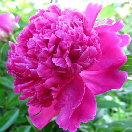 Пион розовый, фото 2
