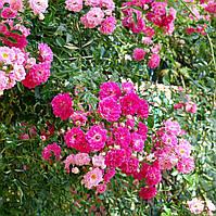 Роза плетистая Эксцельза (Excelsa), ЗКС в горшках 0,8л