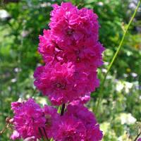 Смолка (Лаванда садовая)