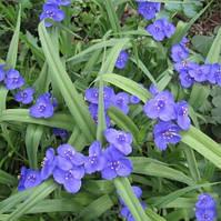 Традисканция садовая, голубая