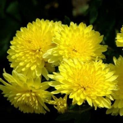 Хризантема мелкоцветковая, желтая