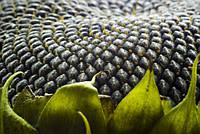 Семена подсолнечника Аракар под Евро-лайтинг