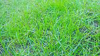 Декоративные газонные травы