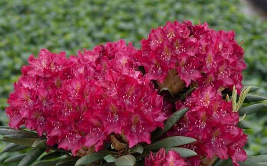 Рододендрон гібридний Кazimierz Wielki 2 річний, Рододендрон гибридный Казимир Виелки, Rhododendron Кazimierz , фото 2