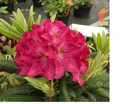 Рододендрон гібридний Кazimierz Wielki 2 річний, Рододендрон гибридный Казимир Виелки, Rhododendron Кazimierz , фото 3