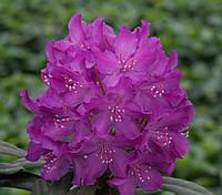 Рододендрон гібридний Boleslaw Chrobry 2 річний Рододендрон гибридный Болеслав Хробры Rhododendron Royal lila