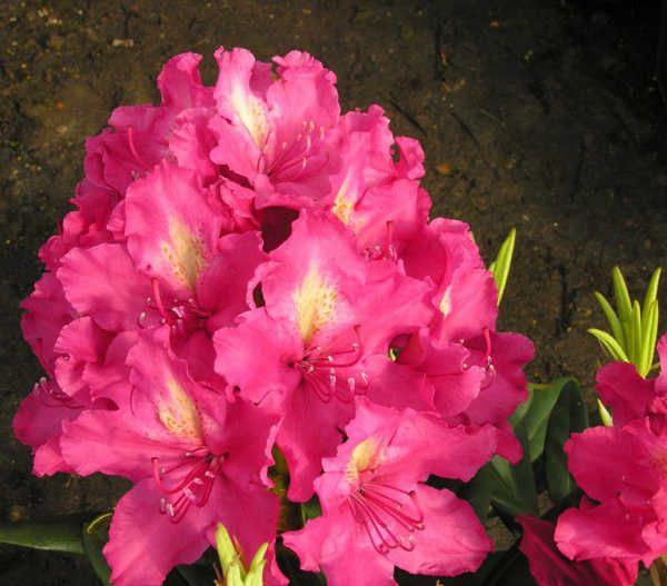Рододендрон гібридний Jan III Sobieski 2 річний, Рододендрон гибридный Ян III Собески Rhododendron Jan Sobieski