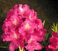 Рододендрон гібридний Jan III Sobieski 2 річний Рододендрон гибридный Ян III Собески Rhododendron Jan Sobieski