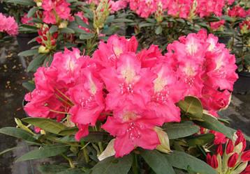 Рододендрон гібридний Jan III Sobieski 2 річний, Рододендрон гибридный Ян III Собески Rhododendron Jan Sobieski, фото 2
