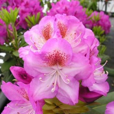 Рододендрон гібридний Kazimier Odnowiciel 2 річний, Рододендрон гибридный Казимир Одновичел, Rhododendron