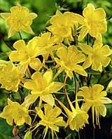 Аквилегия золотистоцветковая (Водосбор)