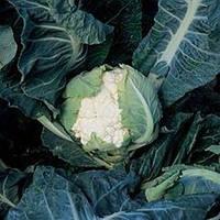 Кортес F1 семена цветной капусты