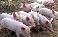 Фермеры предложили рабочий способ борьбы с африканской чумой свиней