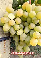 Саженцы винограда средне-позднего срока созревания сорта Ланселот