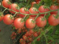 Малиновая капель F1 семена томата дет. раннего черри (Элитный ряд)