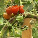 Основные вредители томатов