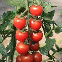 Черный жемчуг F1 семена томата индет. раннего черри (Элитный ряд) 20 шт