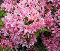 Рододендрон листопадний Soir de Paris 3 річний, Рододендрон листопадный Суар де Пари, Rhododendron / Azalea