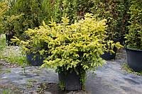 Тис ягодный - Taxus baccata Summergold (высота 50-60 см, горшок 7.5л)