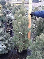 Сосна кедровая европейская - Pinus Cembra (высота 120-140 см, горшок 30л)
