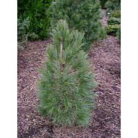 Сосна кедровая европейская - Pinus Cembra Sartori (высота 50 см, горшок 10л)