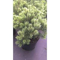 Сосна горная - Pinus mugo Albospicata (высота 100 см, горшок 20л)