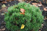 Сосна горная - Pinus mugo Allgau (диаметр 30-40 см, горшок 10л)