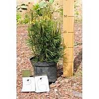 Сосна горная - Pinus mugo Arpad (высота 40-50 см, горшок 7.5л)