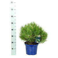Сосна чёрная - Pinus nigra Nana (диаметр 30-40 см, горшок 7.5л)
