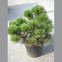 Сосна чёрная - Pinus nigra Nana (диаметр 30-40 см, горшок 10л)