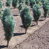 Сосна обыкновенная - Pinus sylvestris Fastigiata (высота 100-120 см, горшок 15л)