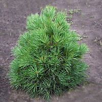 Сосна обыкновенная - Pinus sylvestris Globosa Viridis (высота 40 см, горшок 10л)
