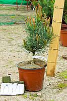 Сосна обыкновенная - Pinus sylvestris Nana Arguto (высота 50-60 см, горшок 15л)