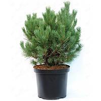 Сосна обыкновенная - Pinus sylvestris Watereri (высота 30 см, горшок 7.5л)
