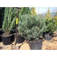 Сосна обыкновенная - Pinus sylvestris Watereri (высота 80 см, горшок 20л)