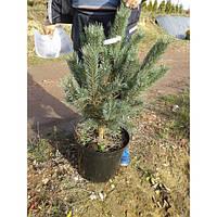 Сосна обыкновенная - Pinus sylvestris Watereri (высота 80 см, горшок 15л)