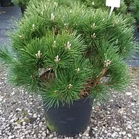 Сосна Тунберга - Pinus thunbergi Sayonara (высота 40 см, горшок 7.5л)