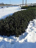 Ель колючая - Picea pungens Super Blue Sidl. (высота 30-40см, горшок 3л)