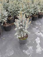Ель колючая - Picea pungens Iseli Fastigiate (высота 40-60см, горшок 5л)