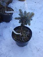 Ель колючая - Picea pungens 'Glauca Globosa' (высота 20-30см, горшок 3л)