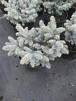 Ель колючая - Picea pungens 'Glauca Globosa' (высота 20-30см, горшок 5л)